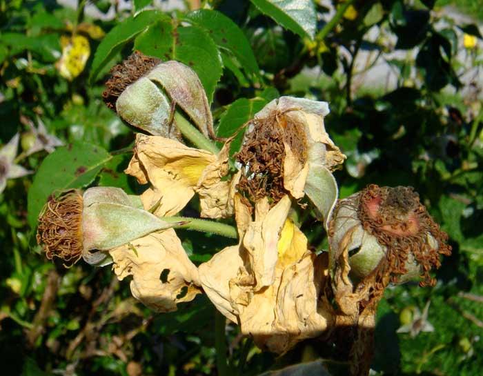 Gelbe Rose verblüht