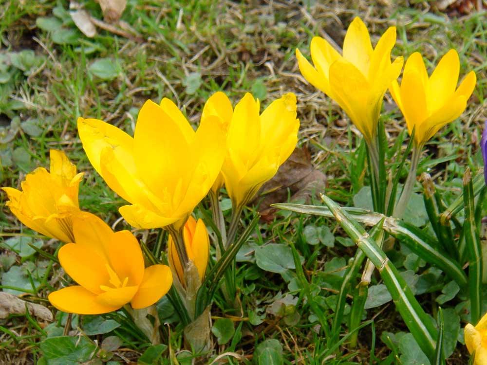 krokus gelb